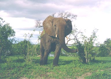 Summer, 1994. This young bull elephant is agitated by my arrival on the scene. He had been casually eating grasses, leaves and twigs and wading and drinking in the Chobe River. (Notice the dark, wet areas on his legs and torso.) Lifting his trunk in an attempt to identify me by smell did not yield enough information, so he mock charged my patrol vehicle in a warning. I got his message and left him to his forage.